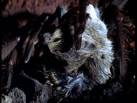 BCU Tarantula eating dead mouse, Amazon