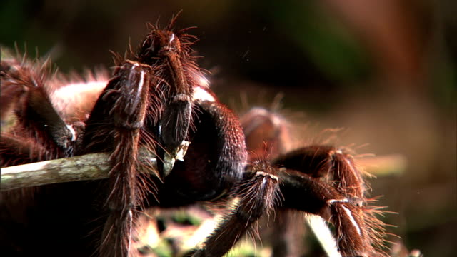 a tarantula grasps a twig between its pincers. - twig stock videos & royalty-free footage