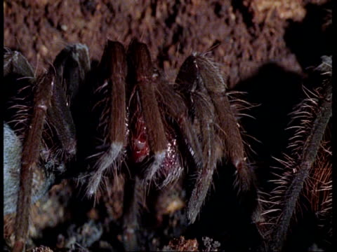 cu tarantula grooming itself, amazon - arachnophobia stock videos & royalty-free footage