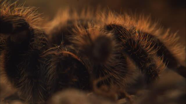 vidéos et rushes de a tarantula moves along a desert floor. - camouflage