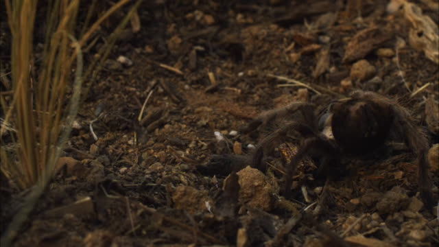 A tarantula moves on the desert floor.