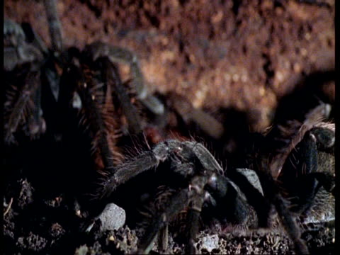 cu tarantula moving slowly, amazon - arachnophobia stock videos & royalty-free footage