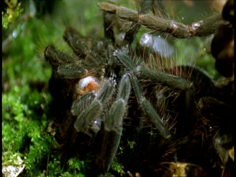 cu tarantula sloughing, amazon, south american - 抜け殻点の映像素材/bロール