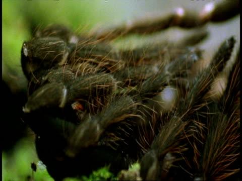 bcu tarantula sloughing, leg detail, amazon, south american - tierhaut stock-videos und b-roll-filmmaterial