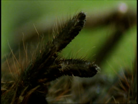 stockvideo's en b-roll-footage met bcu tarantula sloughing, leg detail, amazon, south american - ledematen lichaamsdeel