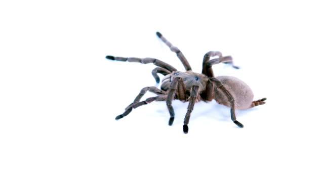 tarantula - spider stock videos and b-roll footage