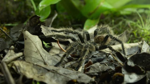 tarantula (theraphosidae) walks across leaf litter. - spider stock videos & royalty-free footage