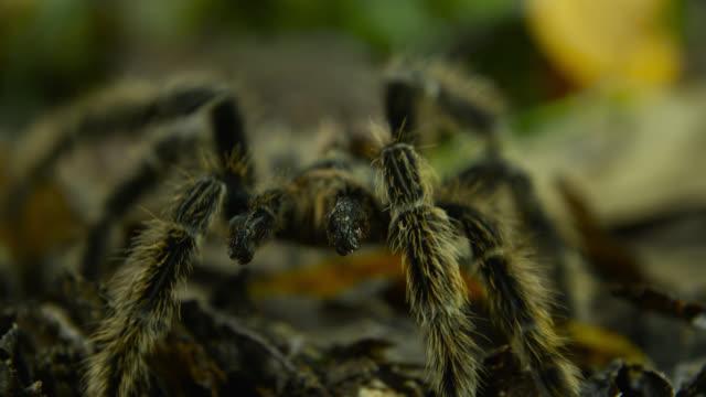 Tarantula (Theraphosidae) walks across leaf litter.