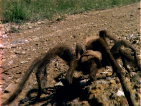 bcu tarantula walks to camera, usa - arachnid stock videos & royalty-free footage