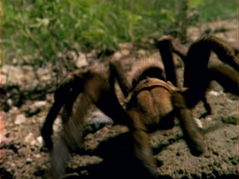 bcu tarantula walks to camera, usa - arachnophobia stock videos and b-roll footage