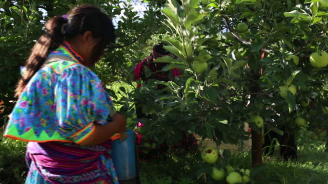 taraumara indigenous community collecting apples from mennonites fields in cuauhtemoc, chihuahua, mexico, on tuesday, august 27, 2019. - north american tribal culture stock videos & royalty-free footage