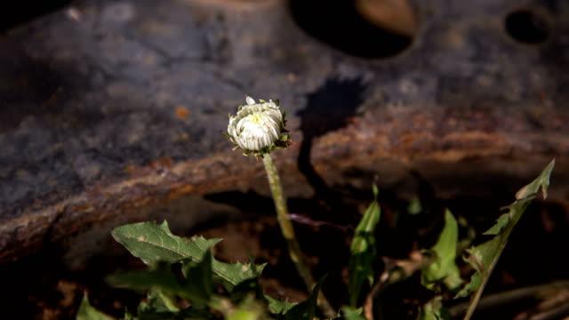 vídeos de stock e filmes b-roll de taraxacum coreanum (korean dandelion) flower blooming - estame