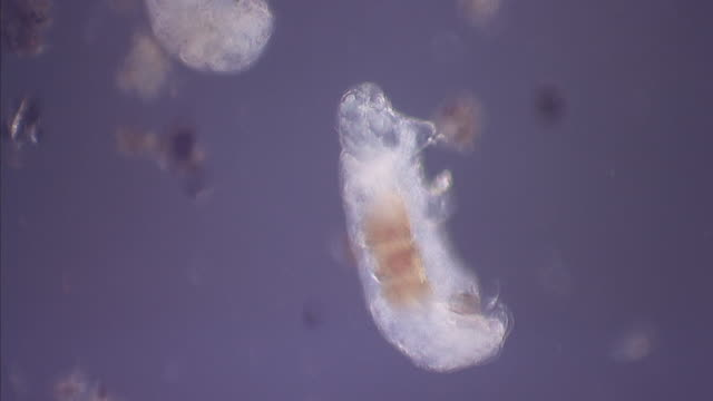 Tardigrade (Tardigrada) wriggles in water under microscope, Scotland