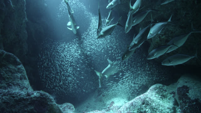 """tarpon and jacks hunt bait fish in cave, cayman islands - """"bbc natural history"""" stock videos & royalty-free footage"""