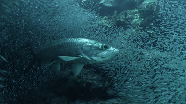 vídeos y material grabado en eventos de stock de tarpon hunt bait fish in underwater cave, cayman islands - banco de peces