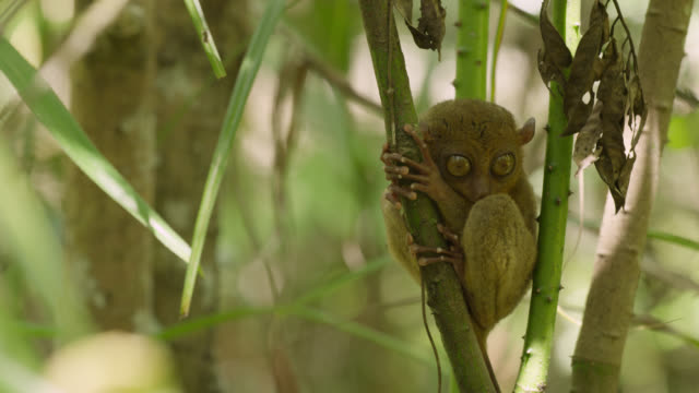 """Tarsier (Tarsius syrichta) clings to branch in forest, Philippines"""