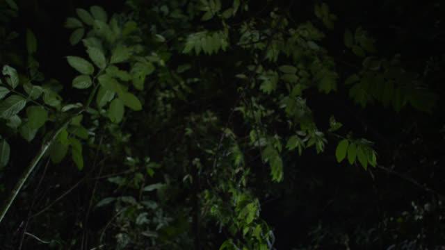 """tarsier (tarsius syrichta) leaps overhead at night, philippines"" - south east asia stock videos & royalty-free footage"