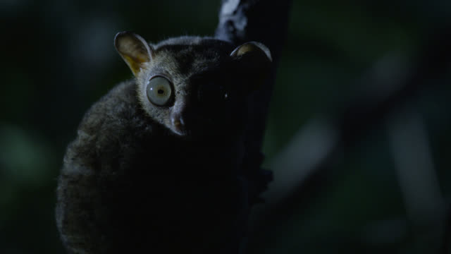 "vídeos de stock e filmes b-roll de ""tarsier (tarsius syrichta) looks alertly from branch at night, philippines"" - olho de animal"
