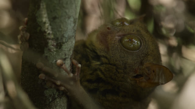 """Tarsier (Tarsius syrichta) looks alertly from branch in forest, Philippines"""