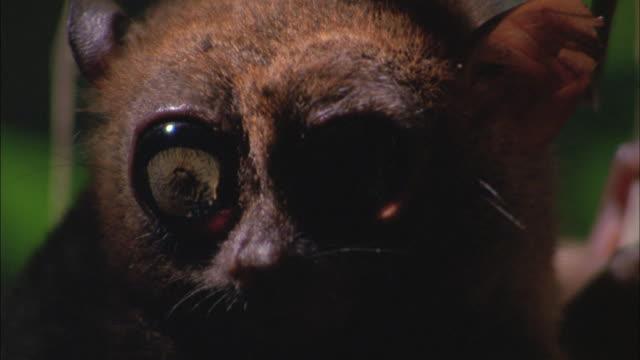 A tarsier looks around.