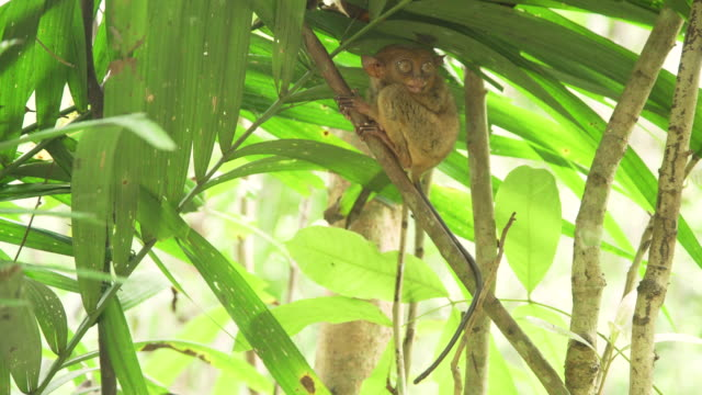 Tarsier sleepy at a branch, little iconic primate from Philippines