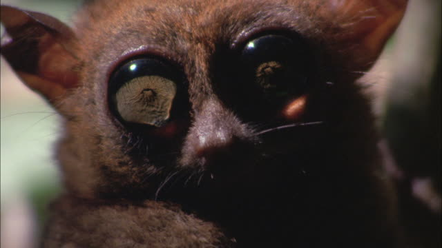 A tarsier twitches its ears and looks around with huge eyes.