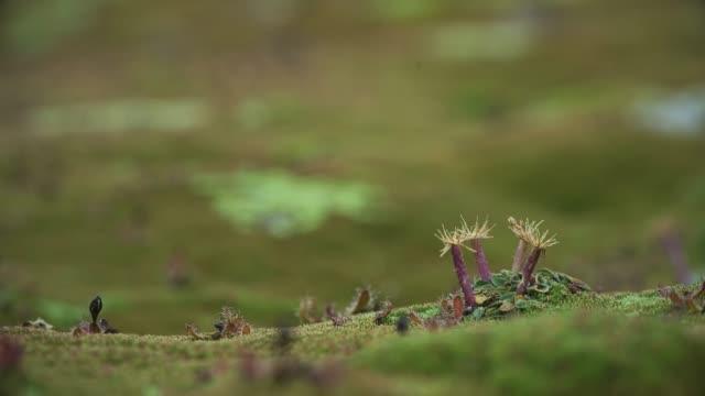 tasmanian cushion plant - national park stock videos & royalty-free footage