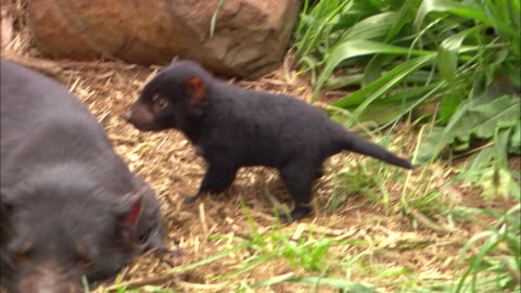 tasmanian devil joeys arouse their mother when they exit a den. - 有袋類点の映像素材/bロール