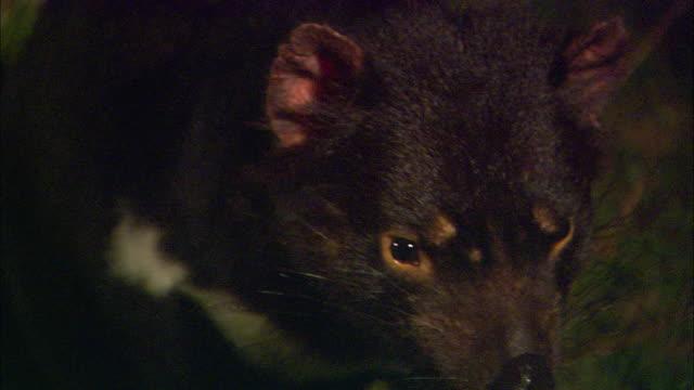 a tasmanian devil looks directly into the camera. - 有袋類点の映像素材/bロール