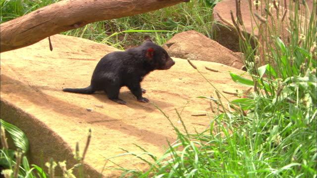 a tasmanian devil stands on a rock. - beuteltier stock-videos und b-roll-filmmaterial