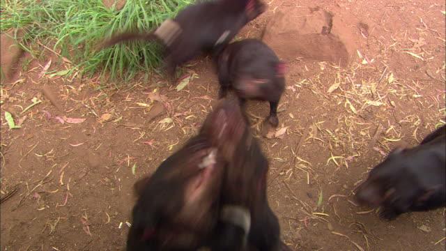 tasmanian devils bare their teeth and jump on each other. - カンガルーの子点の映像素材/bロール