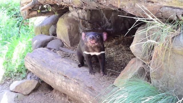 tasmanian devils - beuteltier stock-videos und b-roll-filmmaterial
