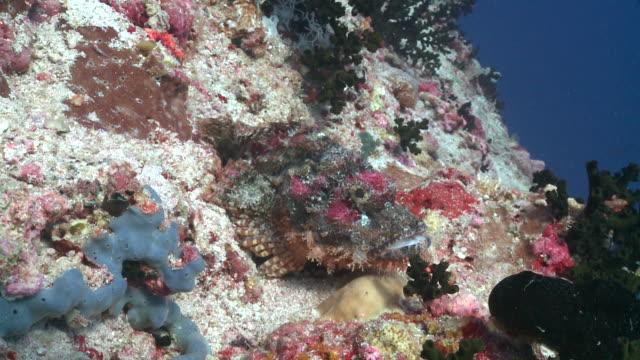 Tasselled Scorpionfish (Scorpaenopsis oxycephala), Baa Atoll, The Maldives