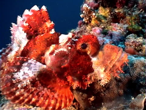 tassled scorpionfish at the reef - mabul island stock videos and b-roll footage