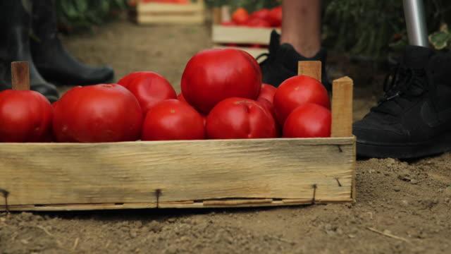 Tasting fresh tomato