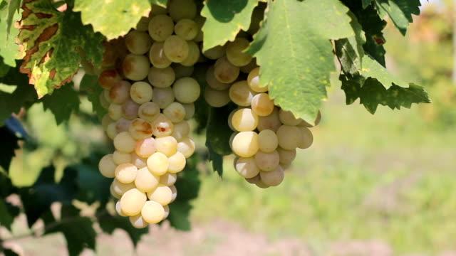 Tasty grape plantation