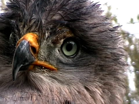 tawny eagle - animal markings stock videos & royalty-free footage