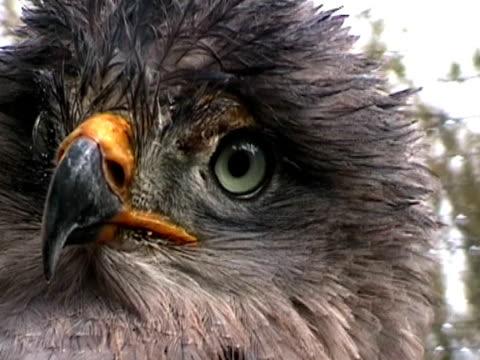 vídeos de stock, filmes e b-roll de águia-rapace  - boca animal