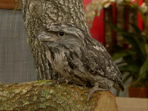 tawny frogmouth the tawny frogmouth, podargus strigoides, is an australian species of frogmouth, a type of bird found throughout the australian... - animal colour stock videos & royalty-free footage