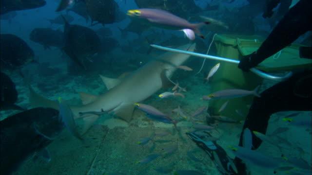 vídeos de stock, filmes e b-roll de tawny nurse shark, in feed bin, diver, underwater, fiji, south pacific  - oceano pacífico do sul