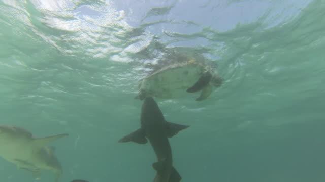 tawny nurse sharks (nebrius ferrugineus) feed on dead green turtle, australia - green turtle stock videos & royalty-free footage