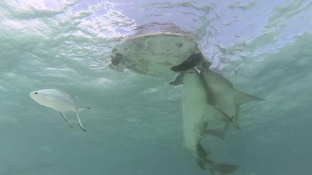 tawny nurse sharks (nebrius ferrugineus) feed on dead green turtle, australia - green turtle stock videos and b-roll footage