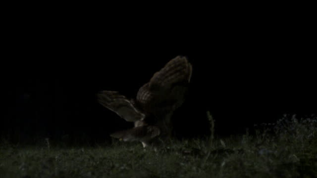 tawny owl (strix aluco) lands onto prey on ground, then takes off, uk - tiere bei der jagd stock-videos und b-roll-filmmaterial