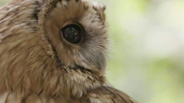 tawny owl (strix aluco) turning its head. - bird of prey stock videos & royalty-free footage