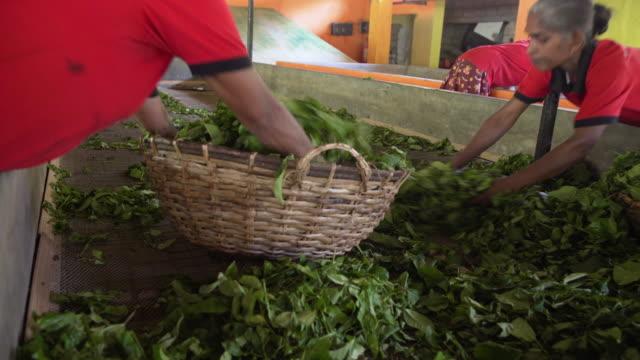 tea factory at sri lanka. women putting tea leaves in wicker basket - basket stock videos & royalty-free footage