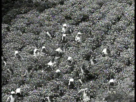 vidéos et rushes de tea farm w/ mountains bg. vs indonesian workers, mostly women in field picking, harvesting tea leaves by hand from plants. women in warehouse... - 1940