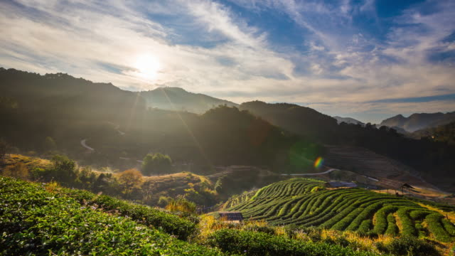 tea field and sunrise - plantation stock videos & royalty-free footage
