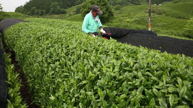 vídeos y material grabado en eventos de stock de a tea field is seen at a tea plantation in uji kyoto prefecture japan on friday may 20 a worker rolls away a black cover screen from the top of tea... - té cultivo