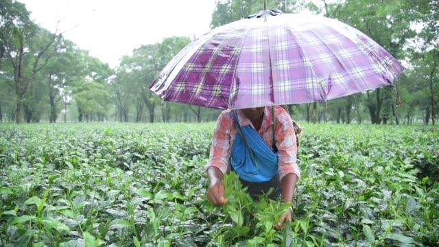 Tea garden labourer plucks tea leaves in a monsoon rainy day in a tea garden at Banjbari village in Baksa district of Assam India some 145 KM from...