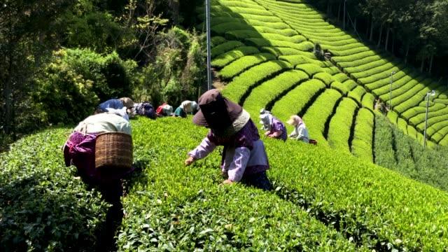 tea leaves are handpicked at the moriuchi tea farm on april 18, 2019 in shizuoka, japan. japan produces approximately 100,000 tons of green tea per... - 農作業点の映像素材/bロール